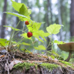 Подсчитаны доходы от сбора грибов и ягод в лесах